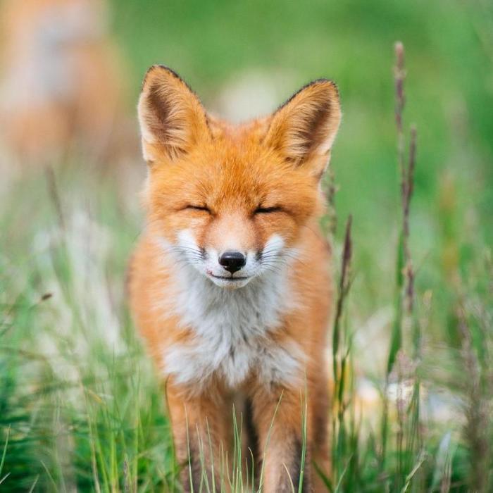 Еще один пак лисичек Пак, Подборка, Фотография, Лиса, Длиннопост, Вечер, Интересное, Горячее