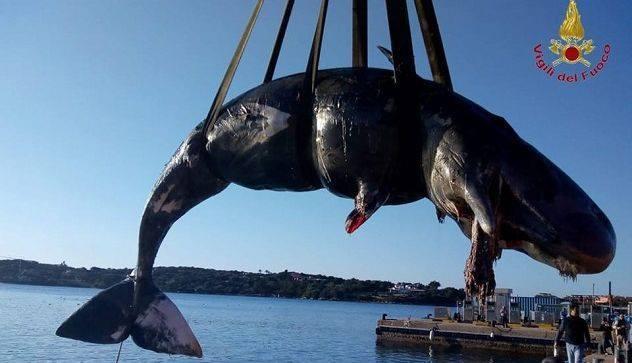 Мертвый кашалот с желудком, набитым пластиком, найден у Сардинии Кит, Италия, Окружающая среда, Новости