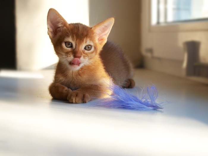 Почти 2 месяца Абиссинская кошка, Кот, Питомник, Котята, Длиннопост