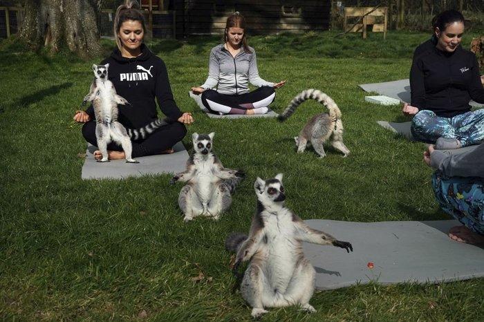 Британский отель предложил гостям йогу с лемурами Лемур, Йога, Отдых, Длиннопост