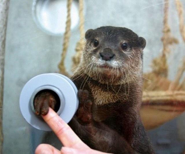 В Японии существует зоопарк, в котором каждый желающий может пожать лапку выдре через специальное отверстие в перегородке.