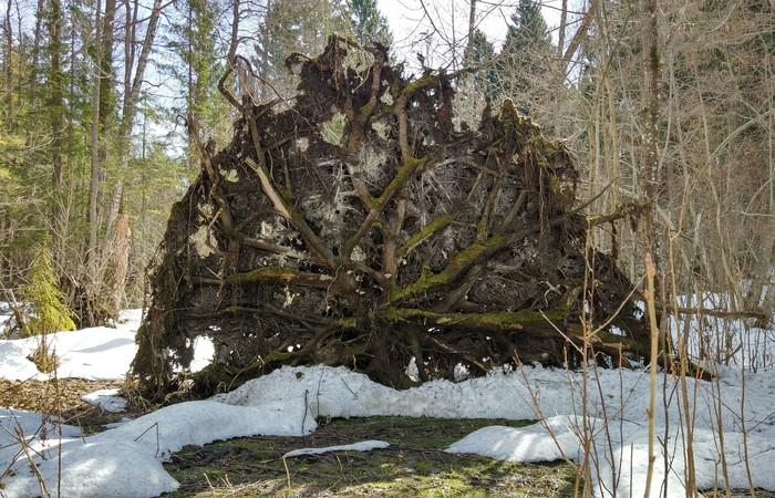 Корневая система Корни, Валежник, Дерево, Лес, Длиннопост
