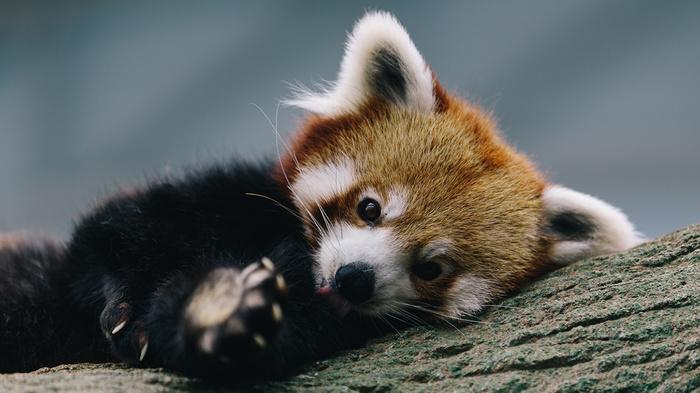 Небольшая подборка красных панд. Красная панда, Милота, Чудные зверьки, Животные, Видео, Длиннопост