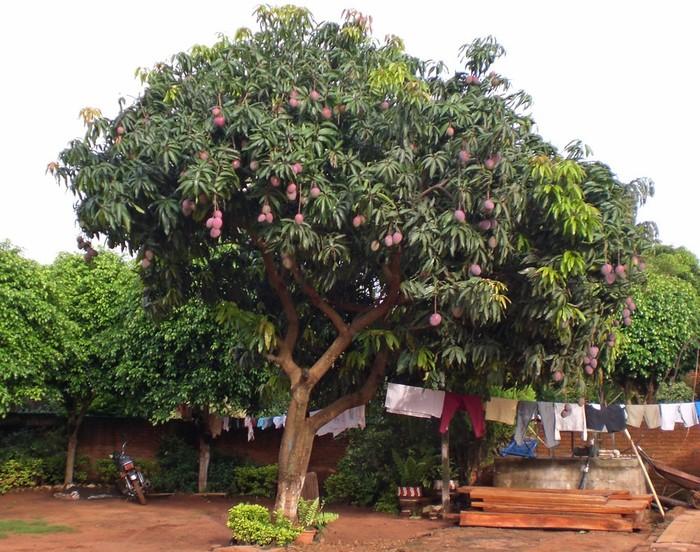 Новости Африки Африка, Мозамбик, Манго, Родила, На дереве