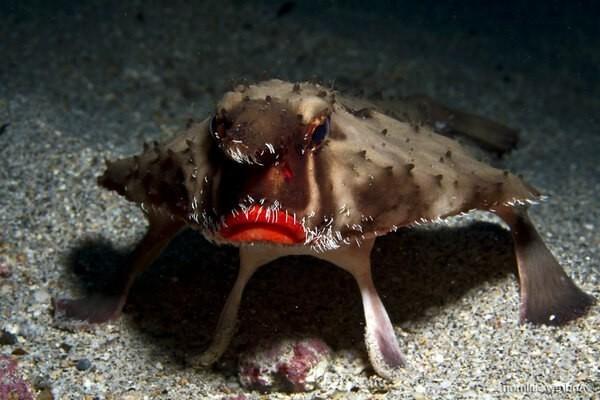 Морской нетопырь – Анджелина Джоли подводного мира Рыба, Животные, В мире животных, Фауна, Гифка, Видео, Длиннопост