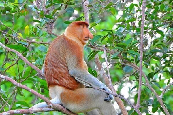 Кахау – обезьяна с неприлично большим носом Животные, Приматы, Дикая природа, Борнео, Кахау, В мире животных, Фауна, Гифка, Видео, Длиннопост