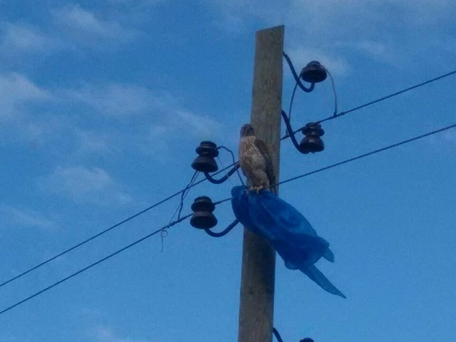 В Челябинской области спасли ястреба, который запутался в пакете. Птичку жалко, Хорошие новости, Ястреб, ЛЭП, Спасение животных, Челябинская область