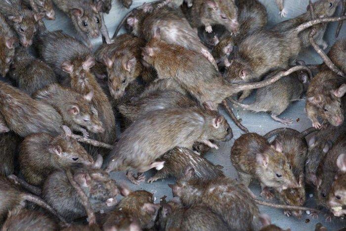 Чтобы выжить людей из дома, рейдер-застройщик  развёл в квартире голубей и крыс Крыса, Голубь, Квартирные рейдеры, Длиннопост, Без рейтинга, Угроза, Видео, Негатив, Воронеж