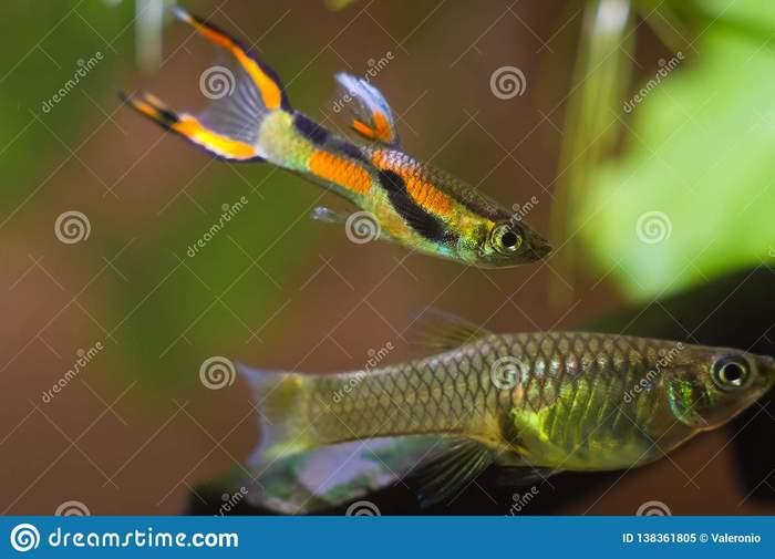 Гигантский самец гуппи Аквариум, Рыба, Гуппи, Длиннопост