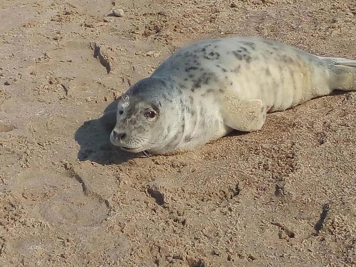 Отдыхает Пляж, Прогулка, Неожиданно, Видео, Длиннопост, Тюлень