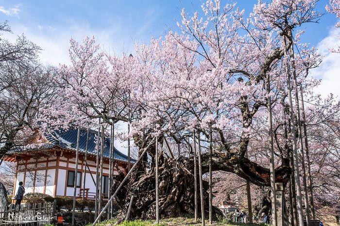 Вишневое дерево которому около 2000 лет. Япония, Вишневое дерево, Вишня, Сакура, Длиннопост