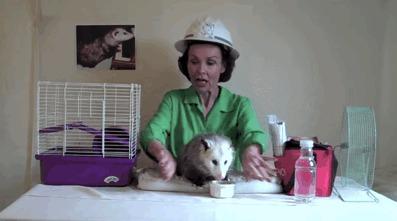Правильно - это коты! Опоссум, Домашние животные, Гифка, Длиннопост