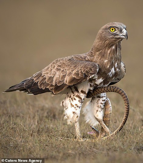 Поединок орла с полозом (орёл победил) Орел, Поединок, В мире животных, Длиннопост, Дикая природа