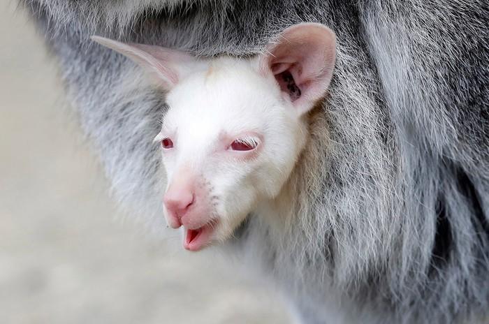 Кенгуру-альбинос Кенгуру, Альбиносы, Чехия, Детеныш
