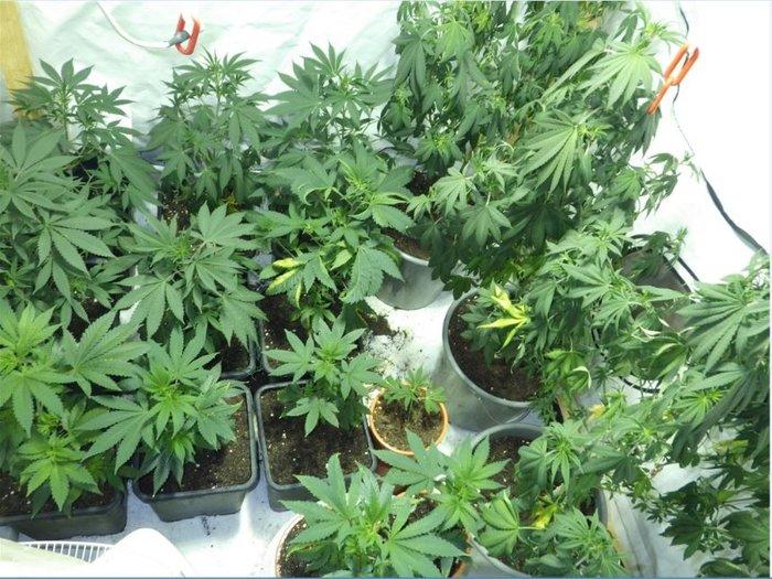 Мужчина попросил полицейских сходить на его квартиру, в которой находилась домашняя плантация марихуаны. Курьез, Наркотики, Марихуана, Spiegel Online