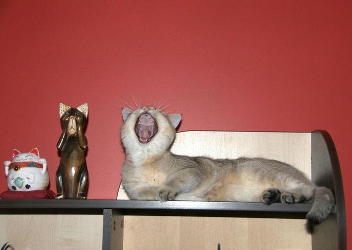 Маскировка 80 лвл Кот, Домашние животные, Британцы, Британский кот, Милота