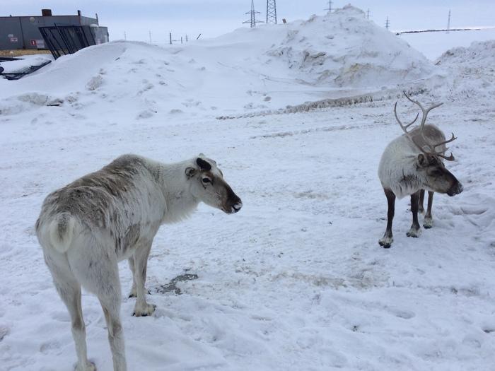 За полярным кругом Олень, Северные олени, Заполярье, Длиннопост