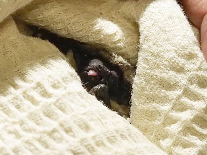 Выспались Летучая мышь, Рукокрылые, Двухцетный кожан