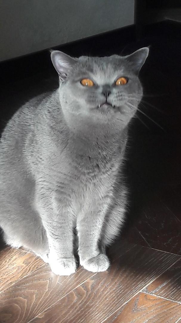 Привет. Есть что? Кот, Привет, Британцы, Зубы