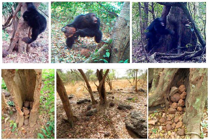 Антропогенная нагрузка на экосистемы обедняет культуру шимпанзе Наука, Биология, Шимпанзе, Копипаста, Elementy ru, Длиннопост