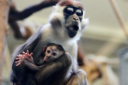 Созданы гибриды с мозгом человека и обезьяны Общество, Китай, Обезьяна, Гибрид, Человек, Мозг, Генетика, Lenta ru