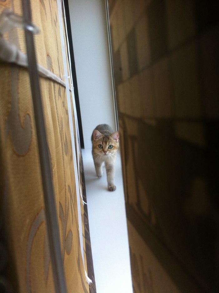 Опа, че дают? Кот, Котомафия, Триша, Британский кот, Домашние животные, Длиннопост