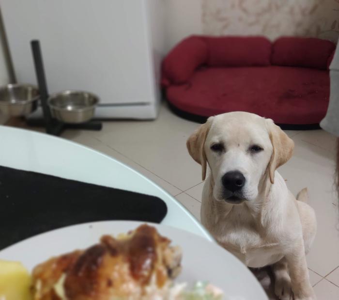 Собака-подозревака Фотография, Собака, Лабрадор, Щенки, Еда, Зависть