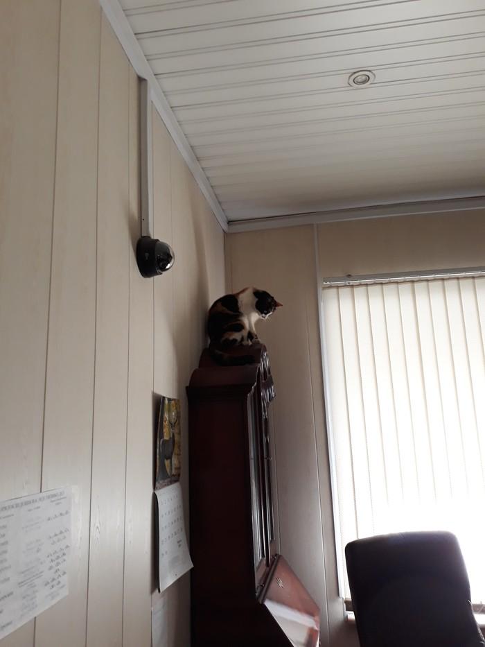 Видеонаблюдение. Кот, Нотариус, Трехцветная кошка