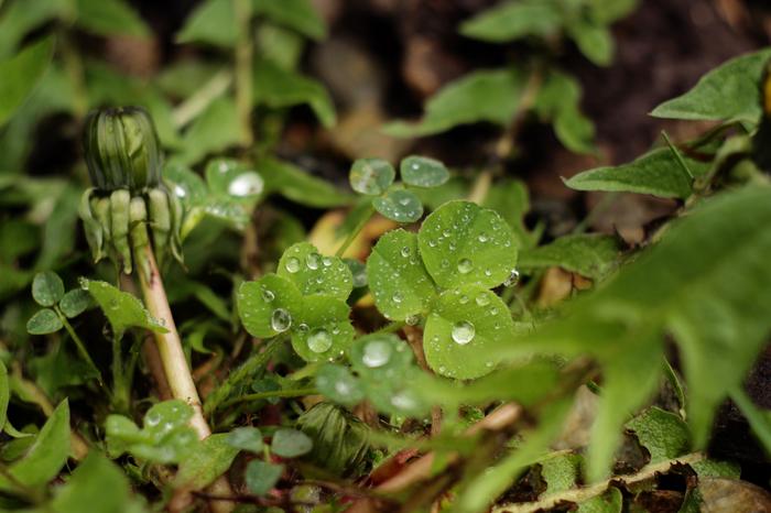 Фото весны после дождя. Роса, Фотография, Зенитар, Начинающий фотограф, Длиннопост