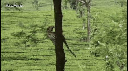 Леопард прыгает между деревьями Леопард, Дерево, Прыжок, Гифка