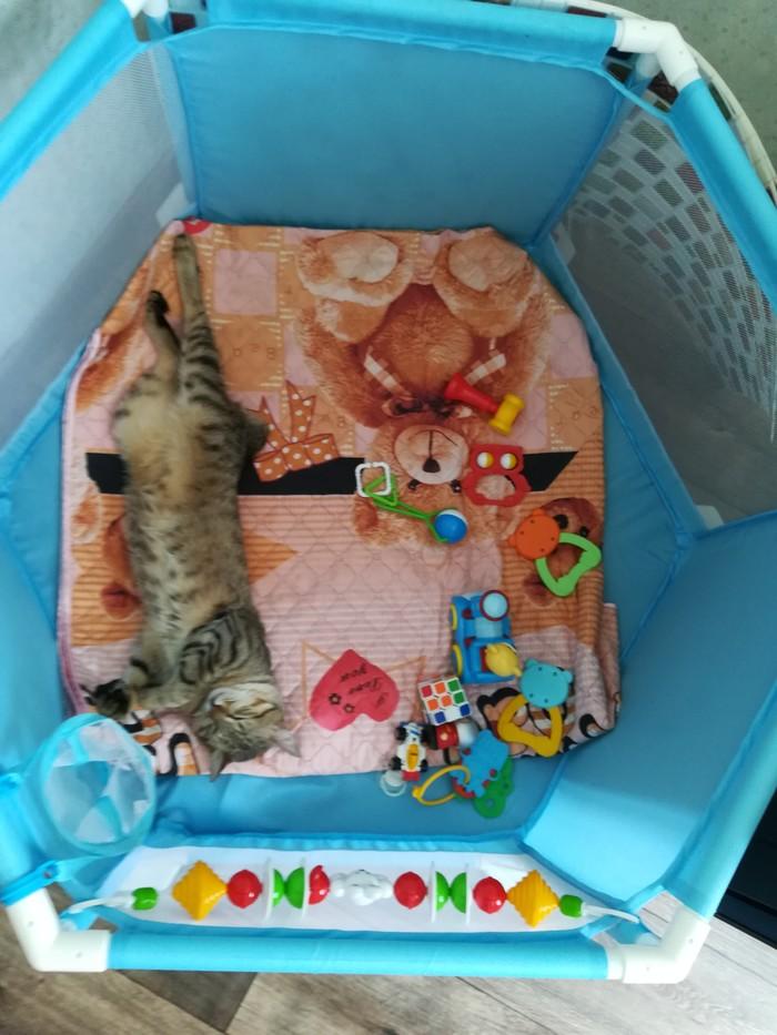 Тише, тише. Котик спит. Кот, Курильский бобтейл, Сон, Манеж, Длиннопост