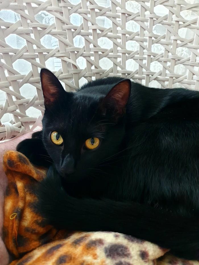 Том Харди и Плюша Шотландская вислоухая, Плюшка, Черный кот, Котомафия, Длиннопост, Кот