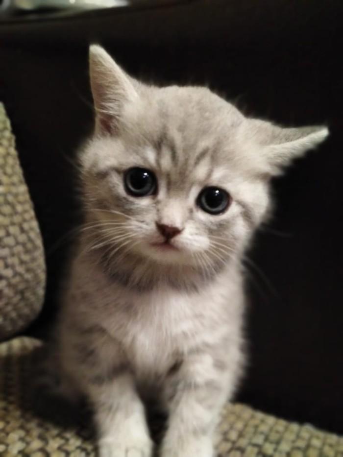 Смотрит тебе в душу :3 Котомафия, Котята, Этот взгляд, Британский кот, Кот