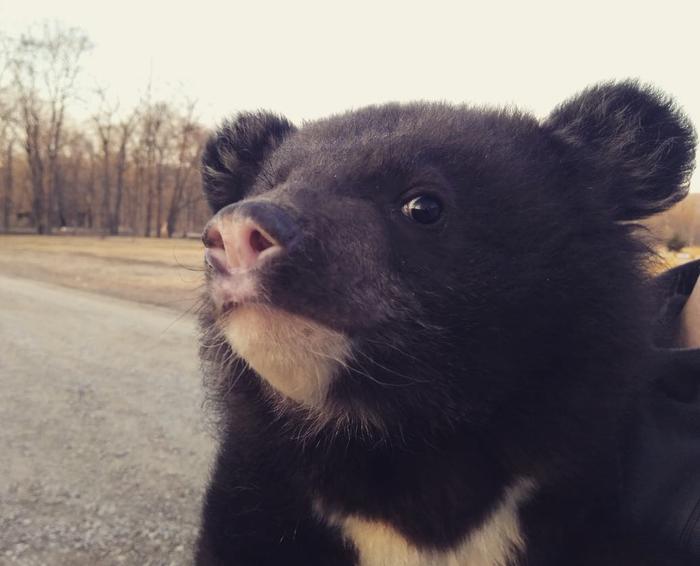 В Приморье полицейские нашли у дороги коробку с гималайским медвежонком Новости, Россия, Полиция, Медведь, Приморский край, Длиннопост