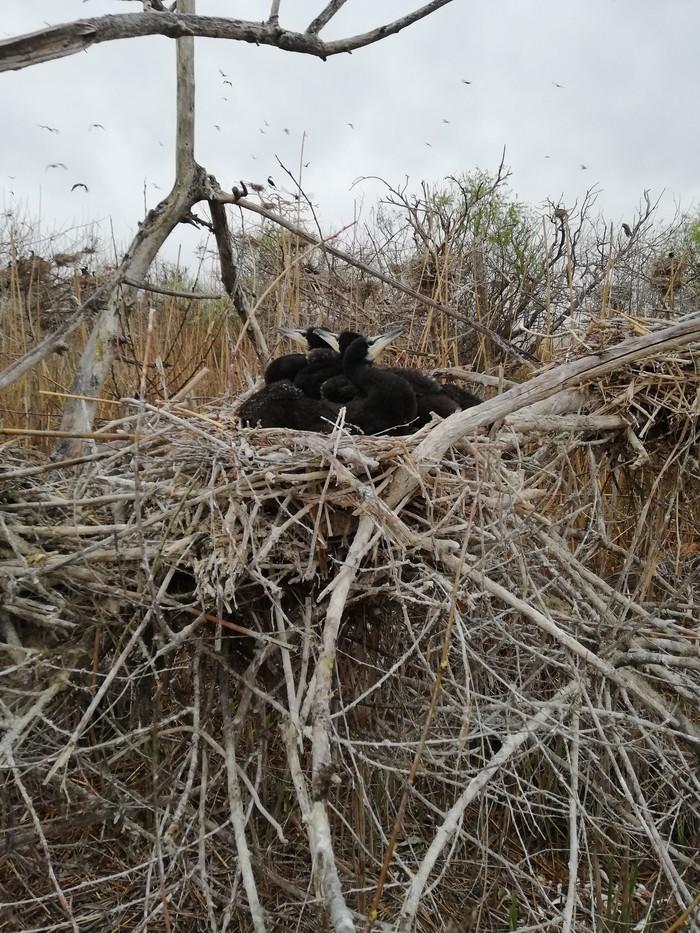 Большой баклан - первый выезд в этом году Баклан, Птицы, Работа, Выезд, Остров, Дождь, Длиннопост