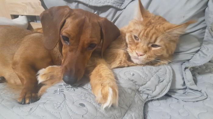 Кот и его такса... Или такса и ее кот? Кот, Собака, Такса, Мейн-Кун, Кошка с собакай, Собаки против кошек, Видео, Длиннопост