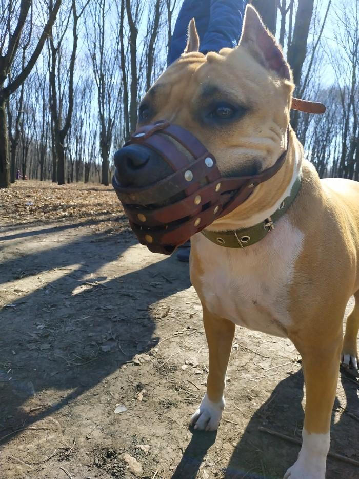 Собака в роще гуляка) Амстафф, Прогулка, Длиннопост