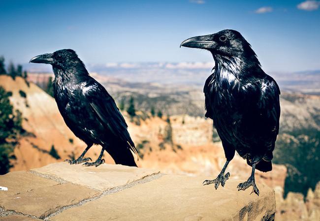 Мужчина два года кормил ворон, и те в ответ принесли ему странный подарок Природа, Животные, Птицы, Ворона, Длиннопост