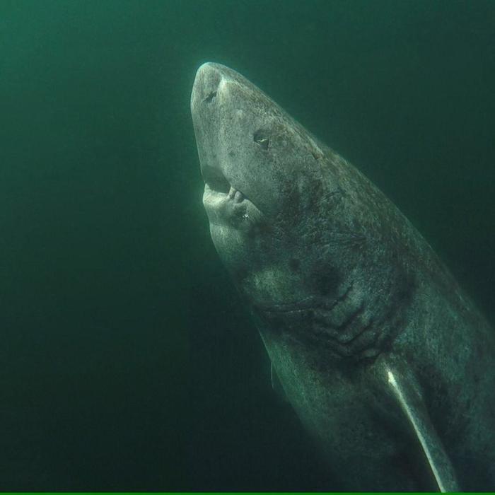 Этой гренландской акуле более 300 лет
