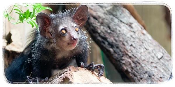 Мадагаскарская руконожка – не дайте боги такое ночью увидеть Айе-Айе, Руконожка, Мадагаскар, Животнын, Природа, Анималия, Джунгли, Видео, Длиннопост