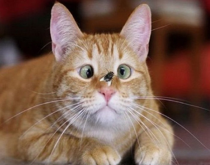Кот. Охота на мух. Кот, Мейн-Кун, Балкон, Весна