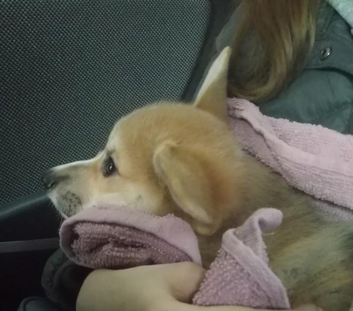 Приехал в новый дом Собака, Щенки, Корги