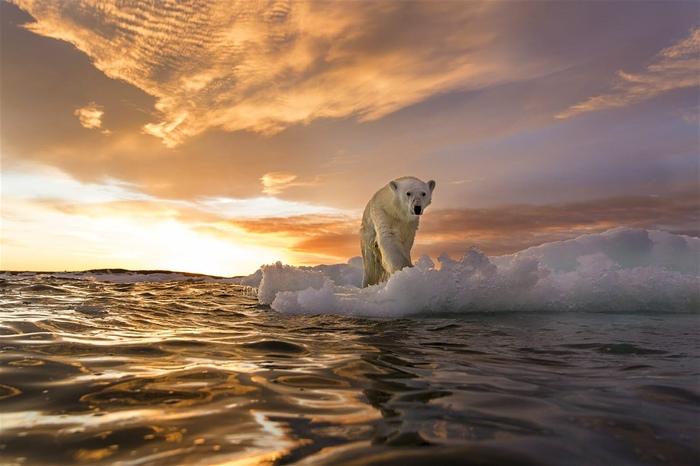 Белые медведи - севера краса.