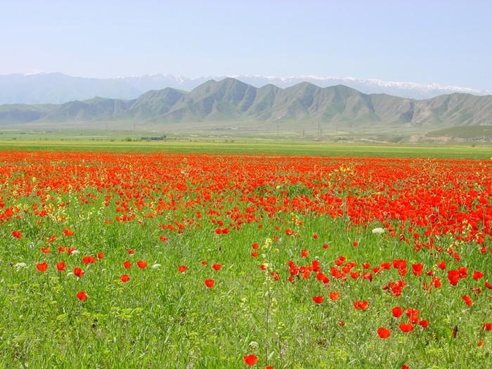 Маковое поле, Кавказ