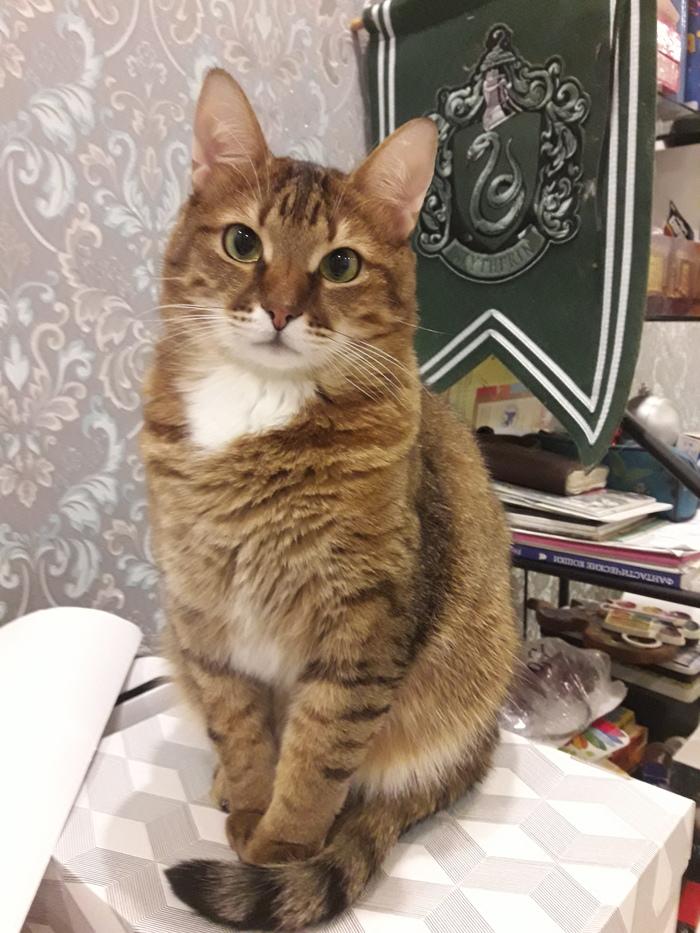 У всех почему то разовые дозы котиков... Ловите шестикратную Кот, Мейн-Кун, Бенгальская кошка, Котомафия, Длиннопост