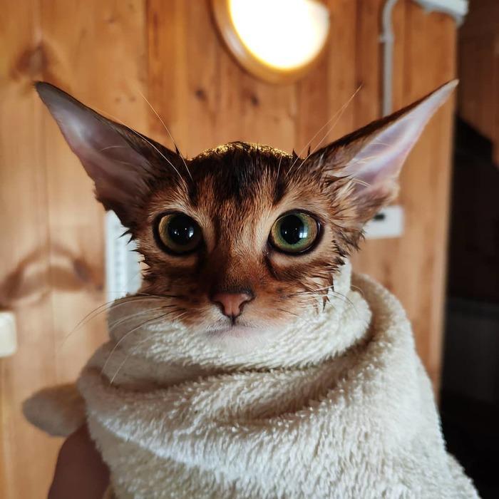 Чистота-залог здоровья Кот, Абиссинская кошка, Питомник