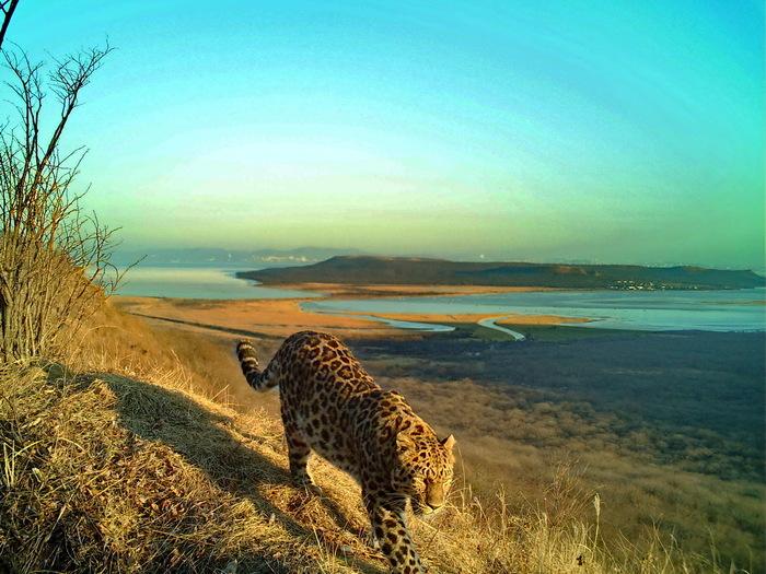 Леопард и тигр во Владивостоке Владивосток, Фотография, Видео, Леопард, Тигр, Приморский край, Море, Природа, Длиннопост, Земля Леопарда