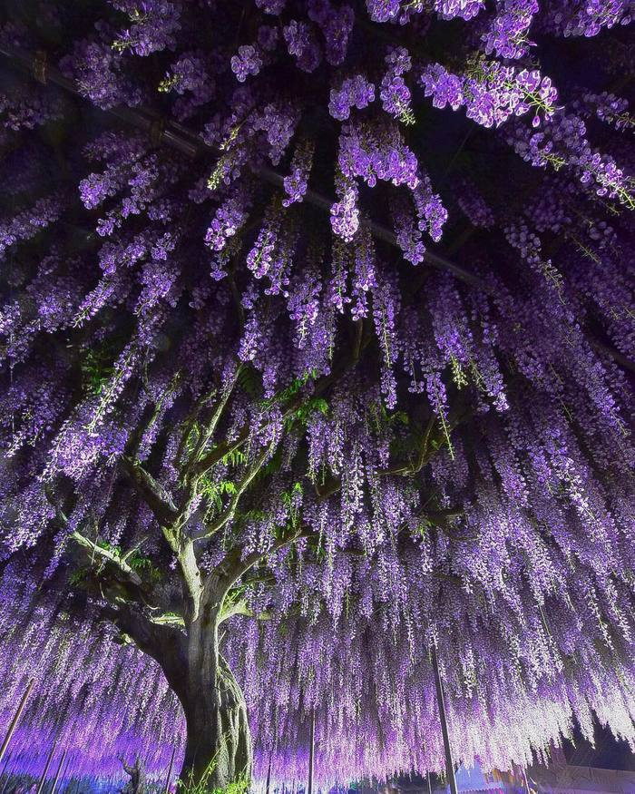 Волшебное цветениеглицинии