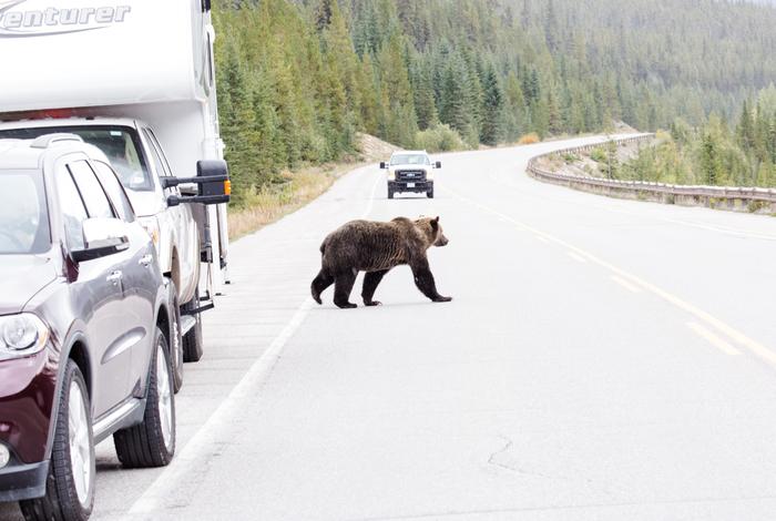Канадская дорога. Медведь, Канада, Дорога, Длиннопост, Дикие животные