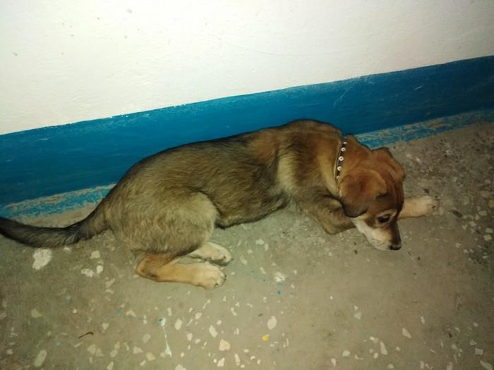 Найдена потеряшка [щенка забрали] Длиннопост, Собака, Животные, Волгоград, Помощь животным, Без рейтинга